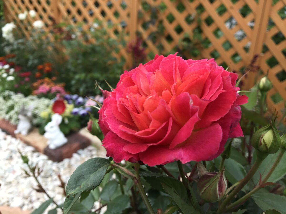 薔薇ユーチューバー『ママ吉』