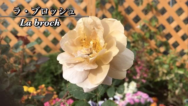 薔薇ユーチューバーしゅけ吉