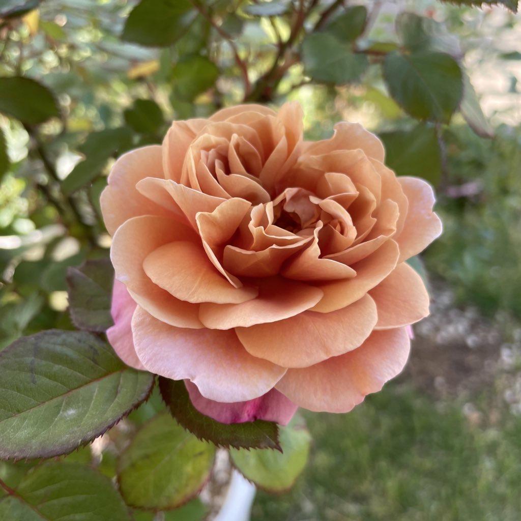 ジャックと薔薇の木